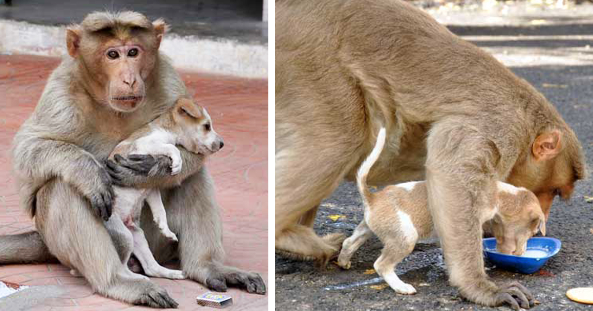 monkey-adopts-puppy-in-india-featured