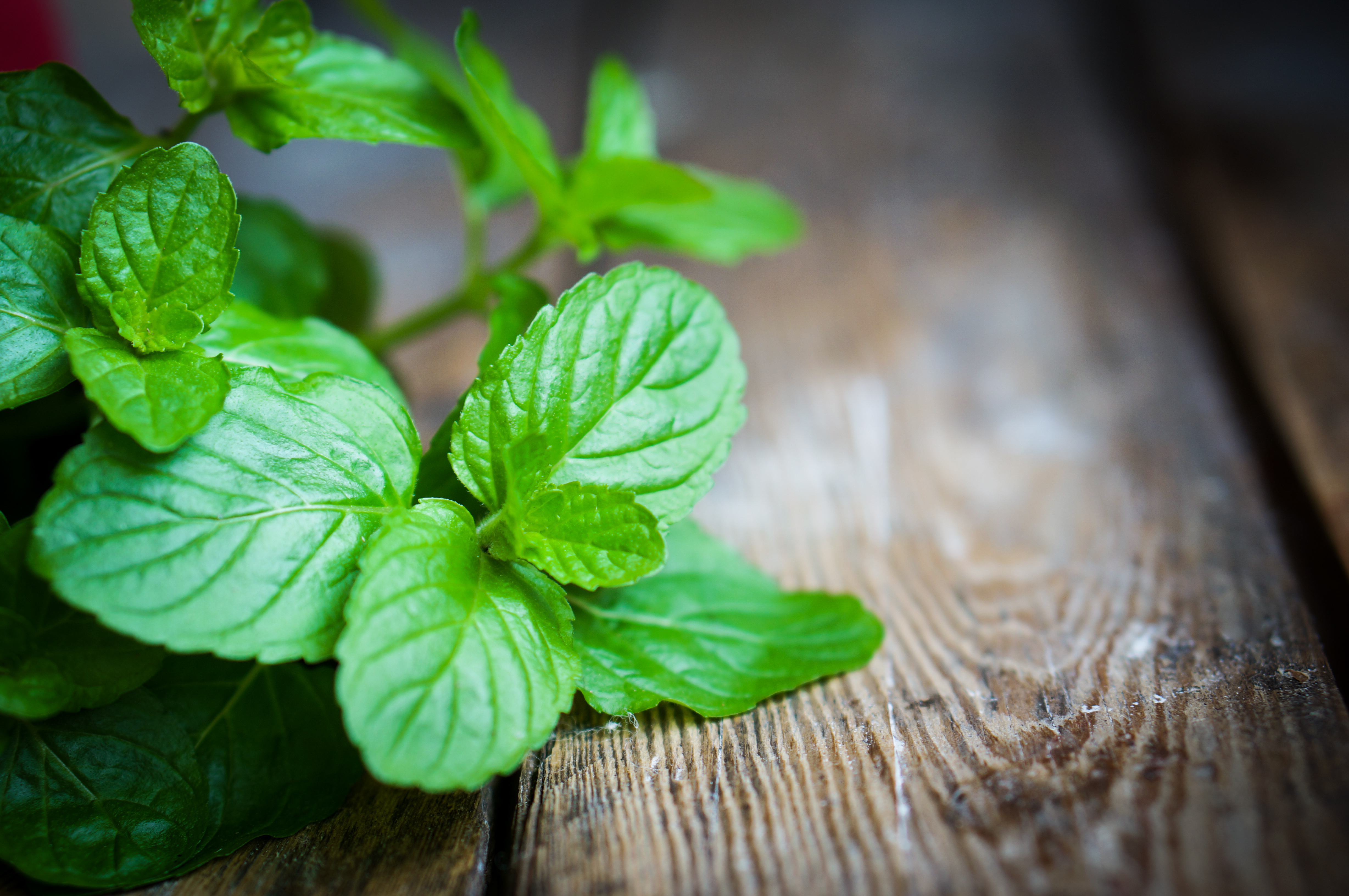 uses for peppermint essential oil, peppermint oil, peppermint plant, peppermint tea