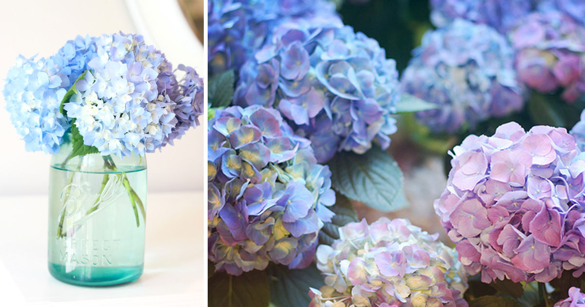 Add Coffee Grounds To Hydrangea To Change The Color From