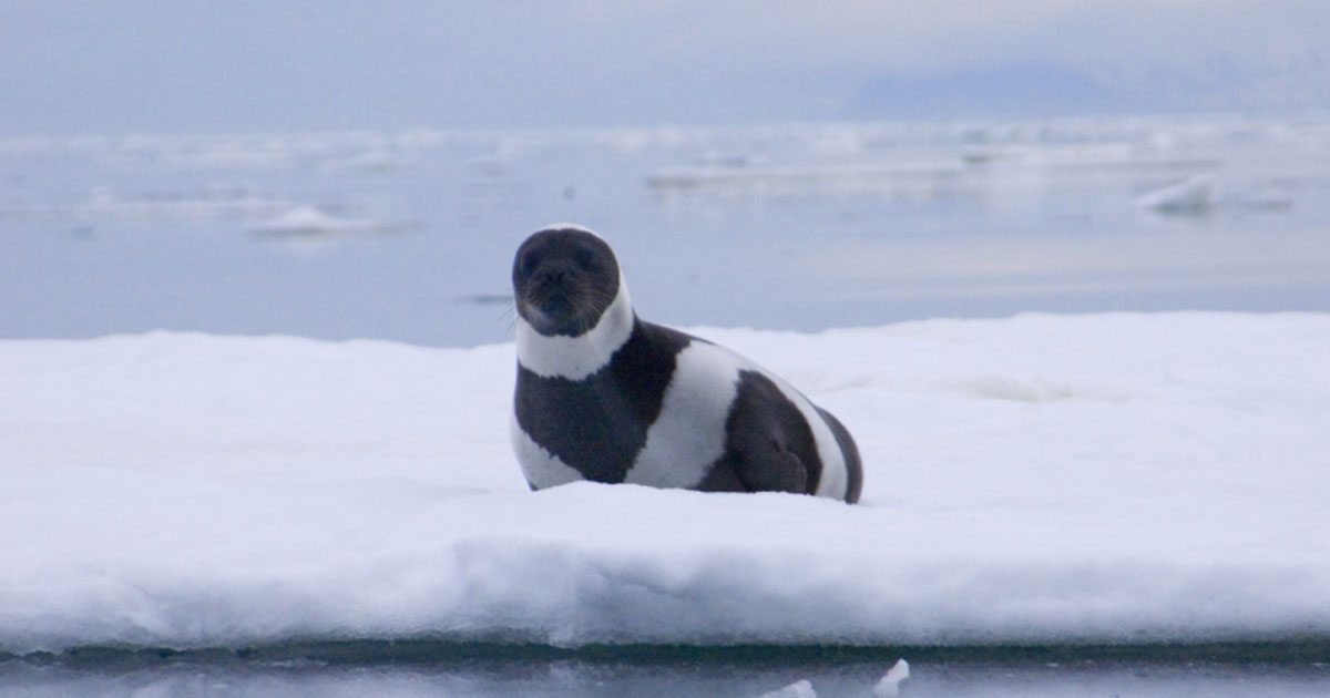 rare_seal_with_stripes_spotted_featured