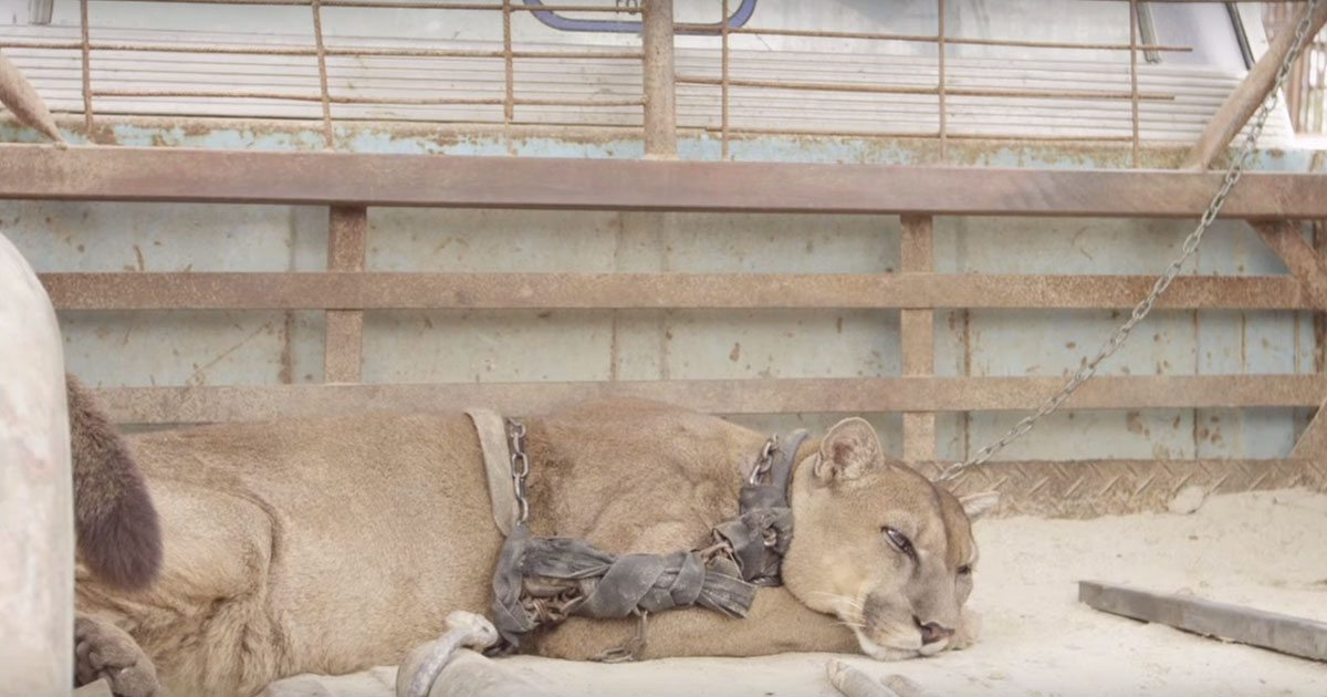 mufasa_circus_mountain_lion_rescue_featured