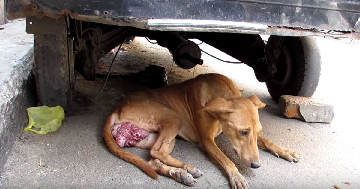 Dog With Massive Cancerous Tumor Makes Incredible Recovery