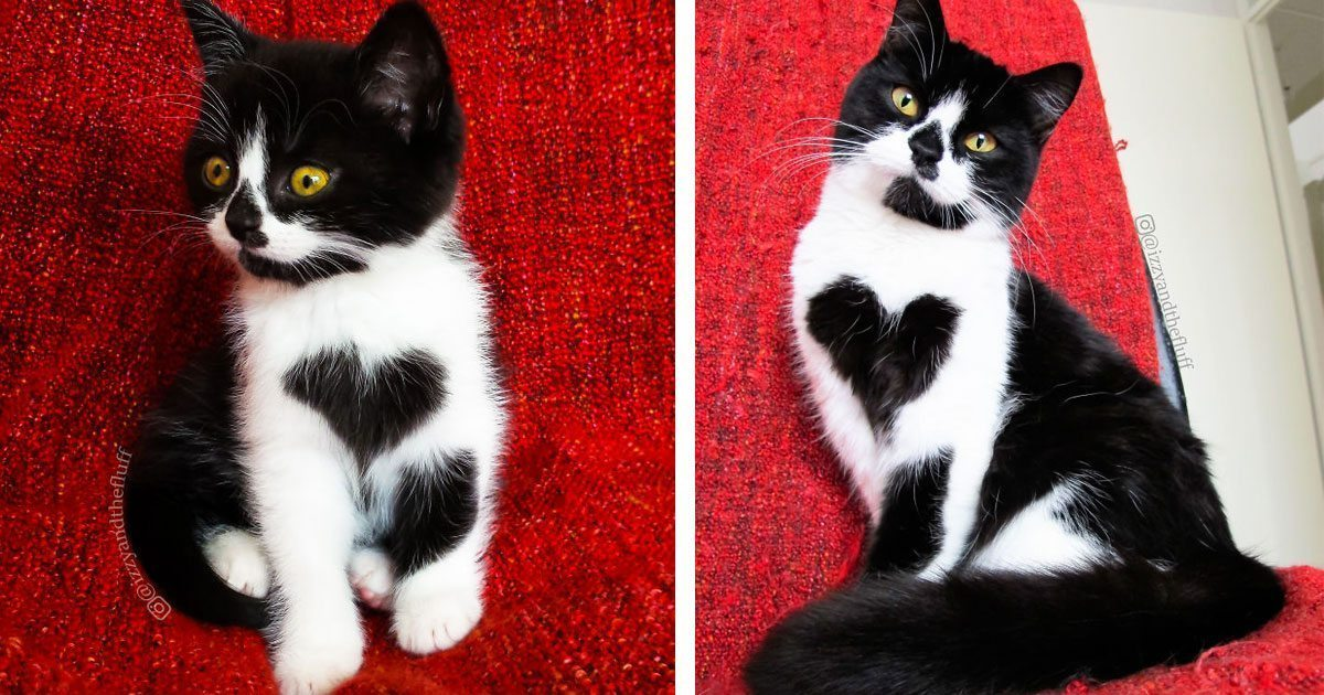 Meet Zoë - the adorable cat who literally wears her heart on her chest
