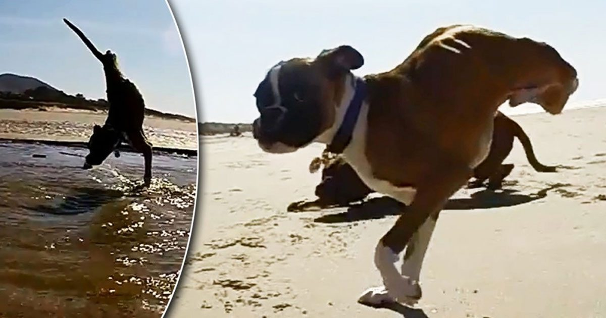 Dog has hind legs removed after birth, doesn't let that stop him from living life to the fullest