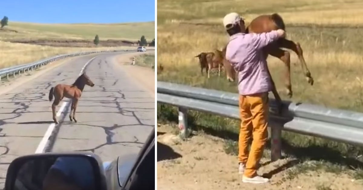 baby_horse_saved_by_stranger_on_road_featured