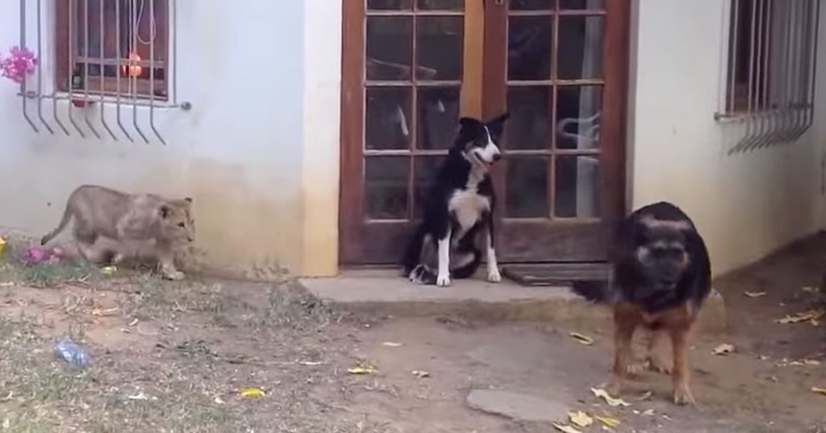 lion_sneaks_up_on_dog_featured