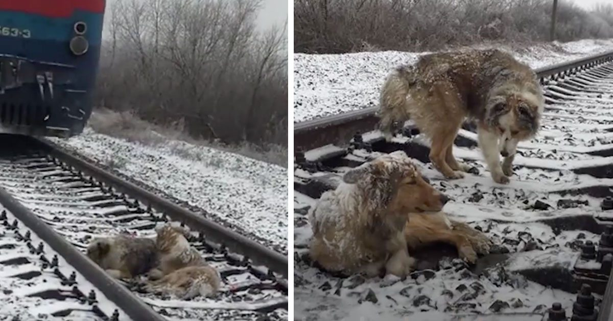 dog_stuck_on_railroad_track_rescue_featured