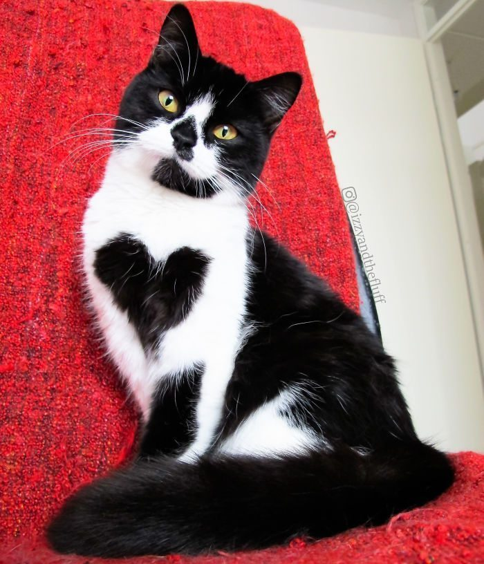 meet-zo-the-cat-who-literally-wears-her-heart-on-her-chest-585db91dcab19__700