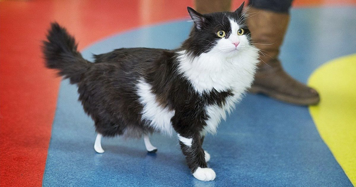 amputee_cat_new_legs_featured