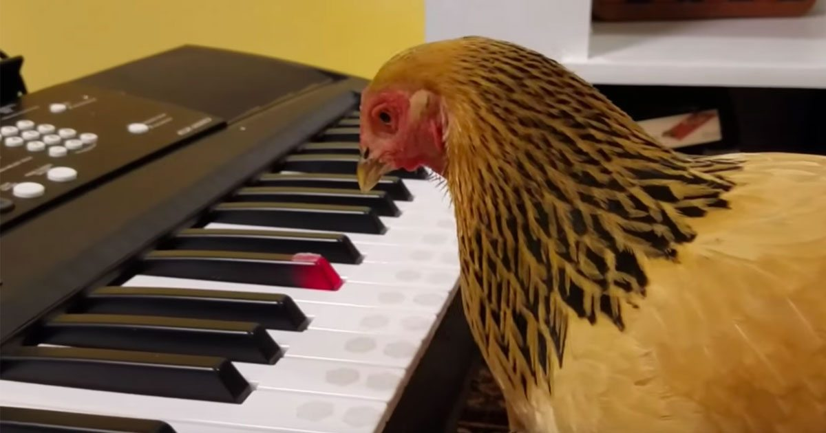 chicken_america_the_beautiful_piano_featured