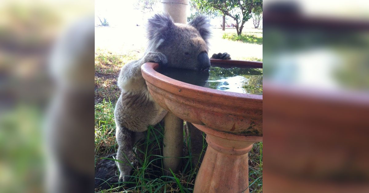koala_drinking_stations_featured