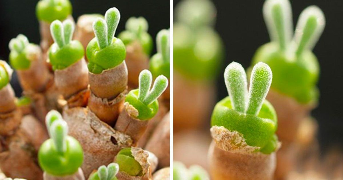 japanese_bunny_succulents_featured