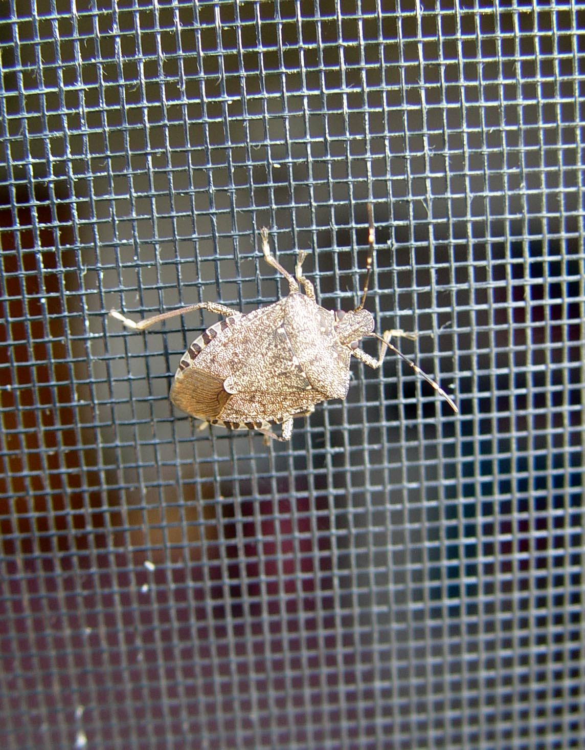 stinkbug-on_-a-screen