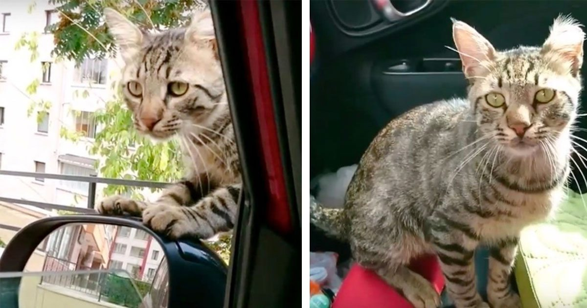 stray_cat_breaks_into_rescuers_car_featured