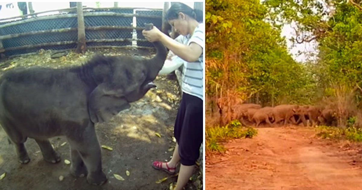 elephant_saved_by_rescuers_reunited_with_herd_featured