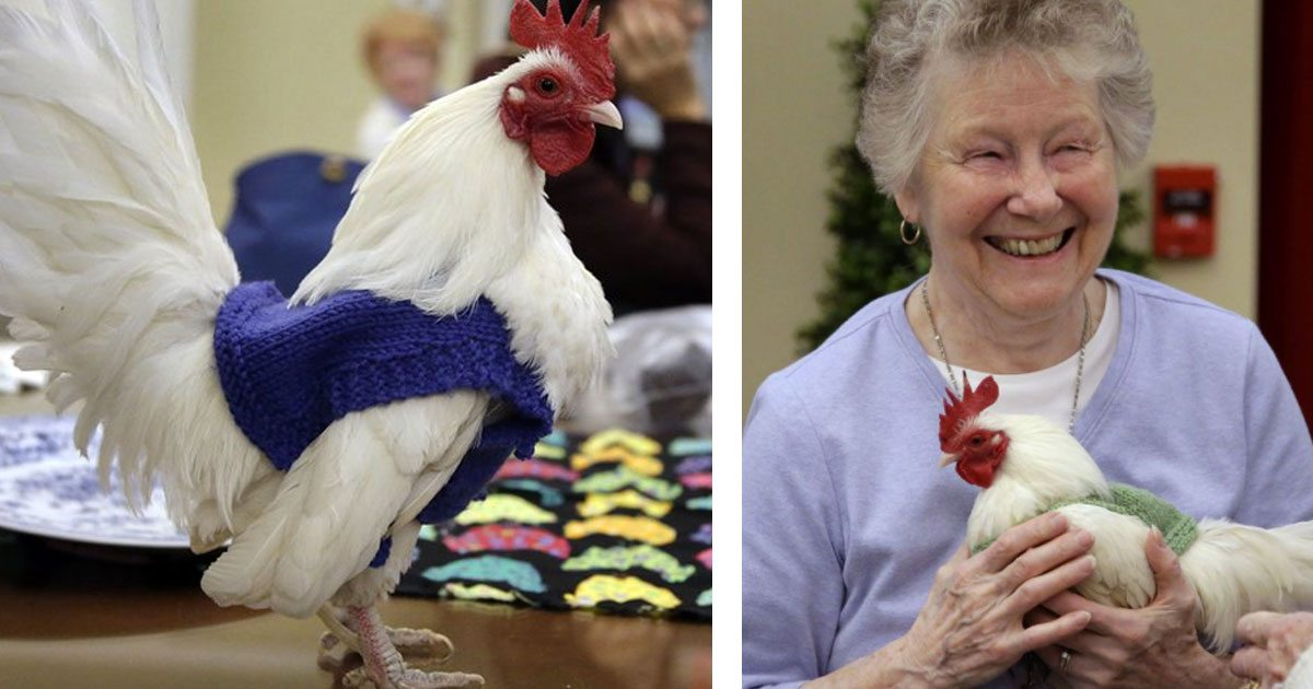 retiree_knits_sweaters_for_chickens_featured