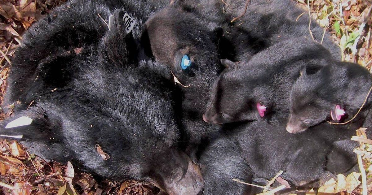 US Senate passes new bill, makes it legal to kill hibernating bear families in den