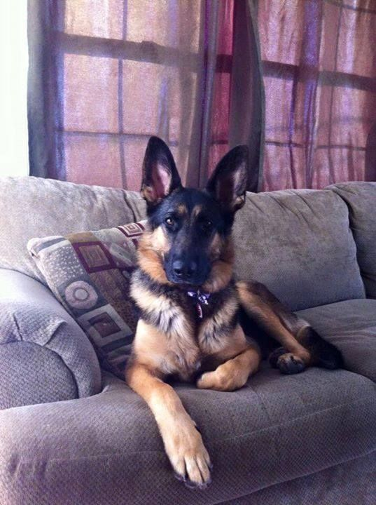 10 Hilarious Reasons Why German Shepherds Can T Be Trusted