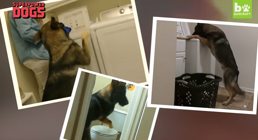 German Shepherd Dog Helps With Chores Around The House