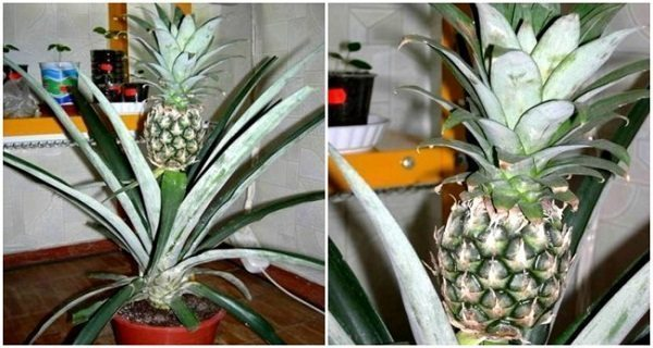this-is-how-you-can-successfully-grow-pineapples-indoors