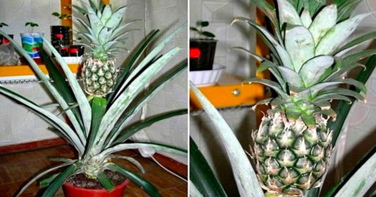 grow_pineapples_at_home_featured