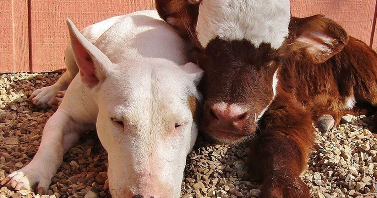 rescue_cow_loves_every_dog_she_meets_featured
