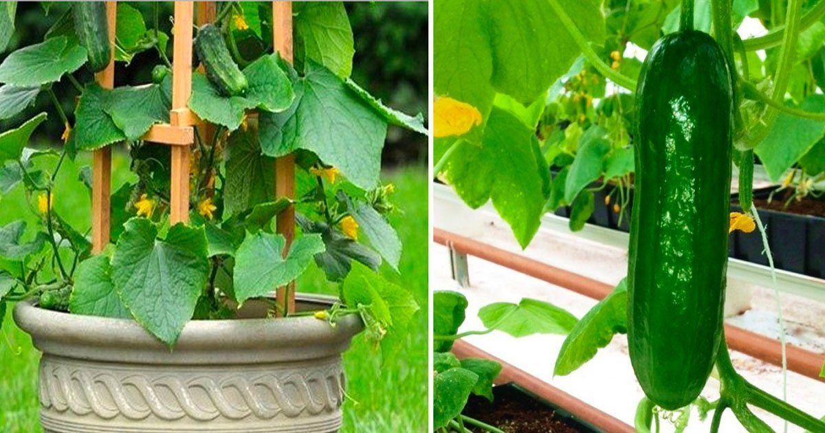 how_to_grow_cucumbers_featured