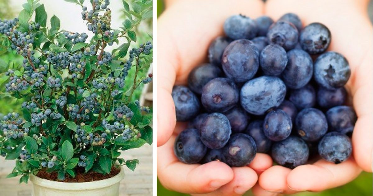 grow_blueberries_at_home_featured