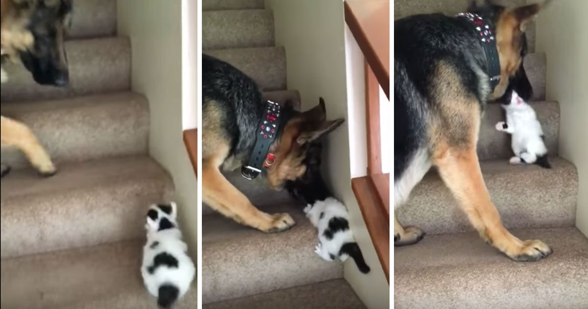 dog_carries_kitten_up_stairs_featured