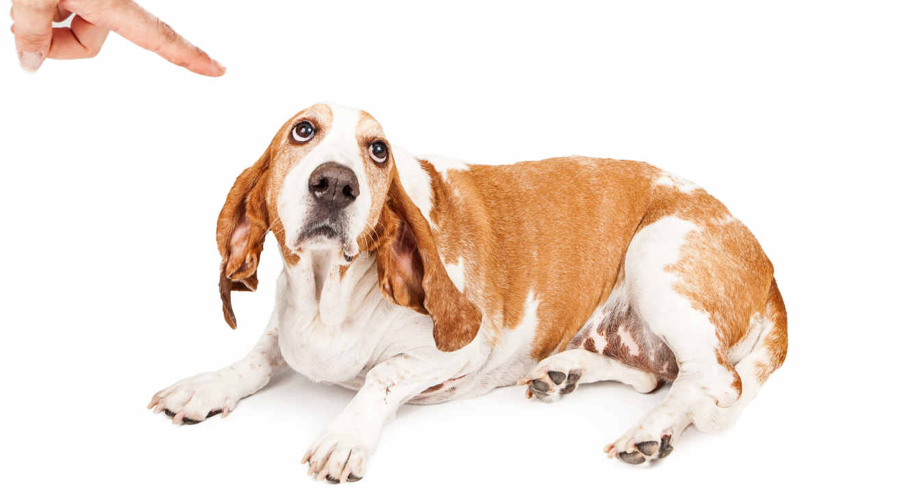 A person shaking a finger at a Basset Hound dog with a guilty expression