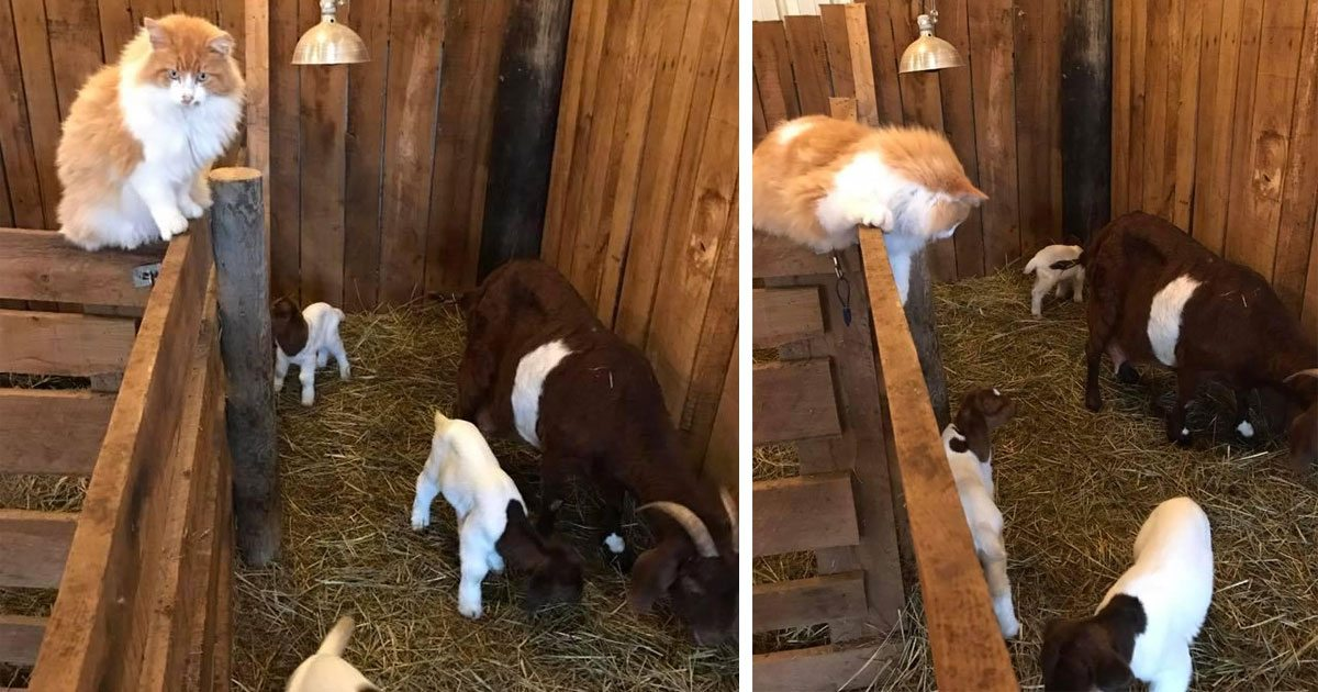 farm_cat_raises_goats_featured