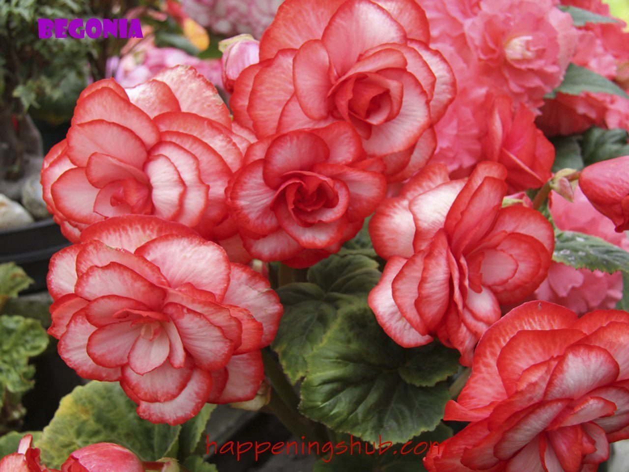 wallpaper-begonia-flowers-r