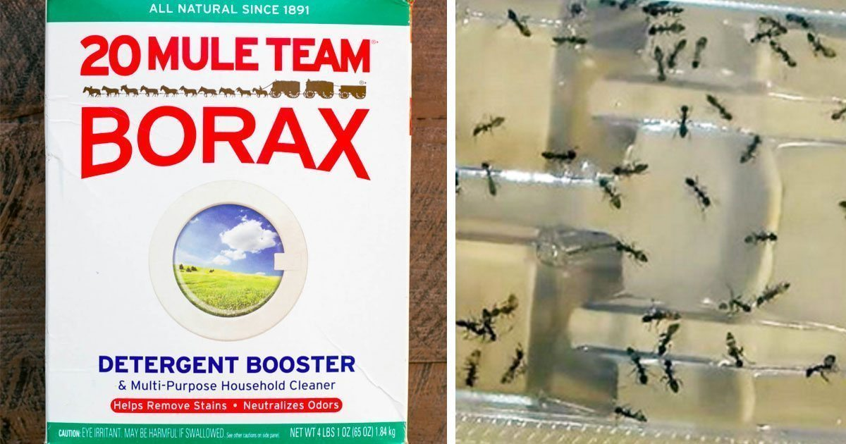 how to kill german cockroaches with borax