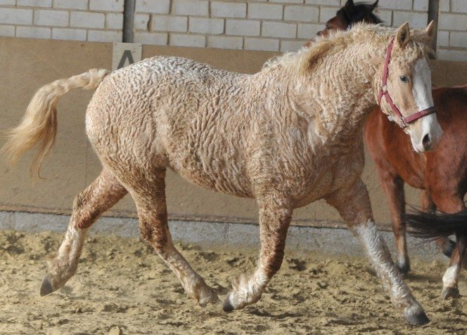 07-curly-horse-664x477