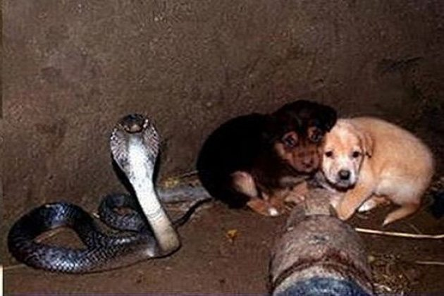cobra-guards-puppies-well