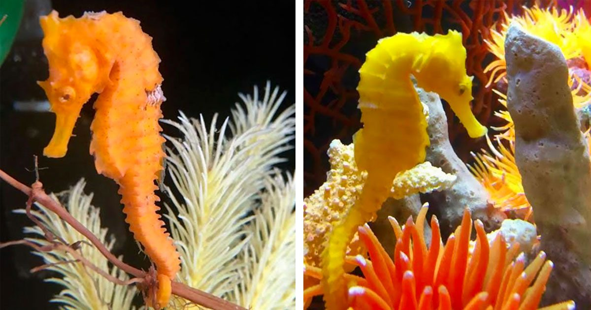 seahorse_rescue_cheeto_featured