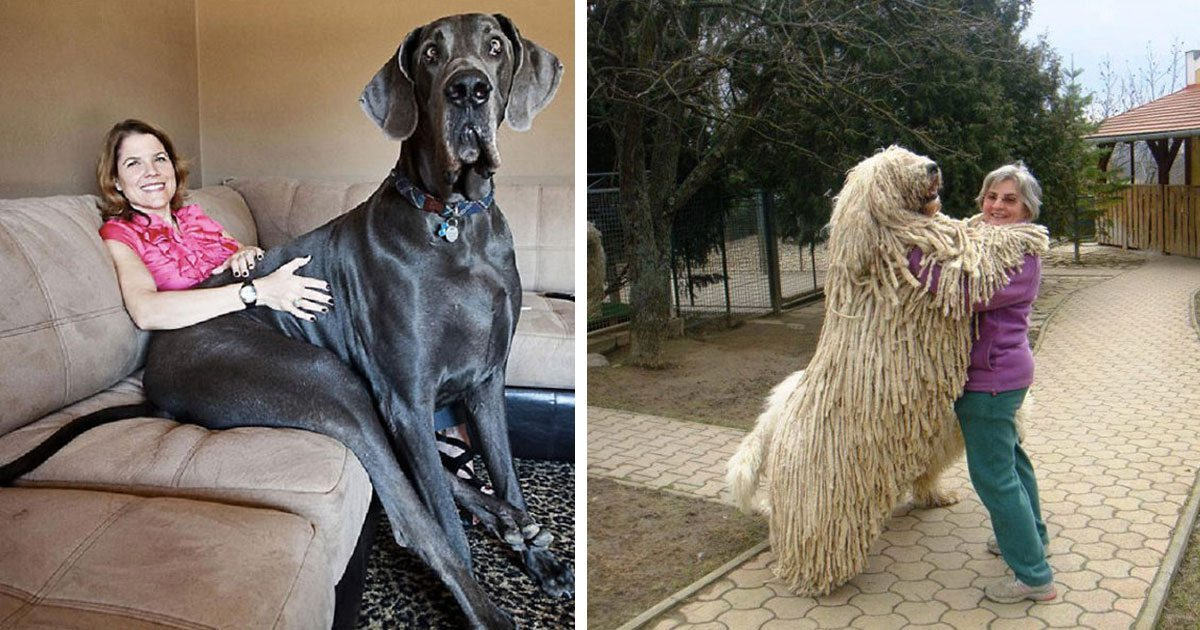 15 Giant Dogs Who Completely Forgot How Big They Are