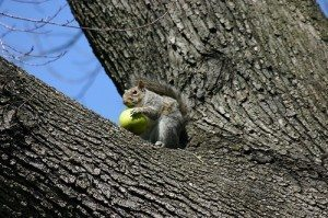 squirrel-in-apple-tree-300x199