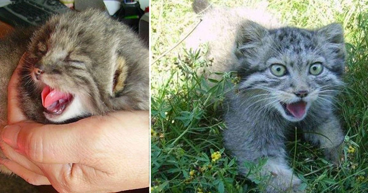 farmer_rescues_pallas_cats_featured