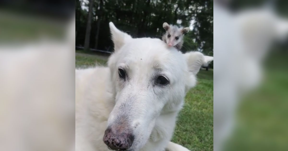dog_adopts_orphaned_opossum_featured