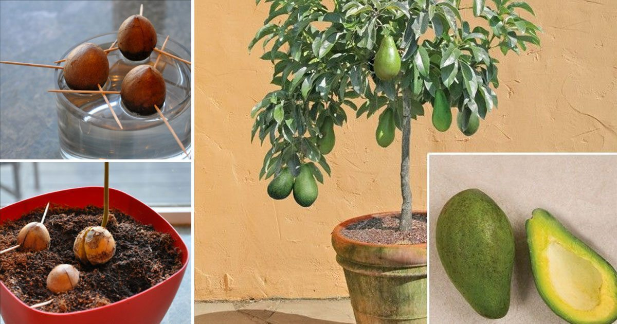 grow_avocado_small_pot_home_featured