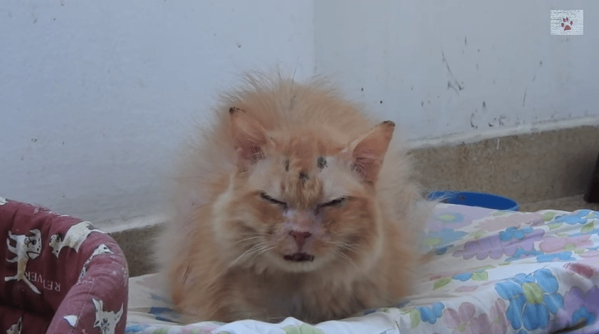Video Of An  Year Old Abused Cat Cinnamon