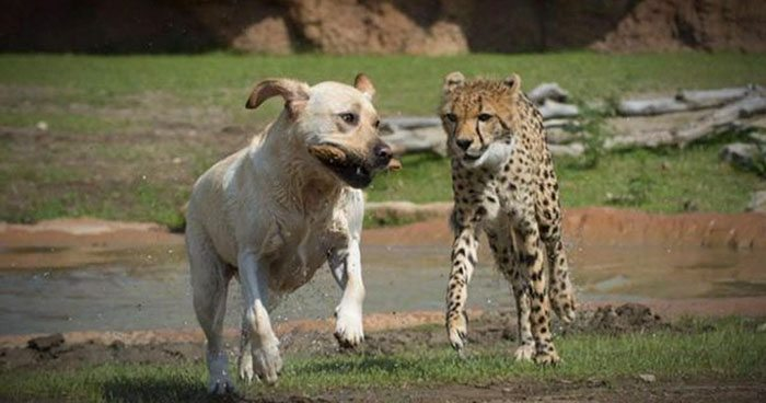 nervous-cheetahs-support-dogs-8-59523e0a28f9f__700