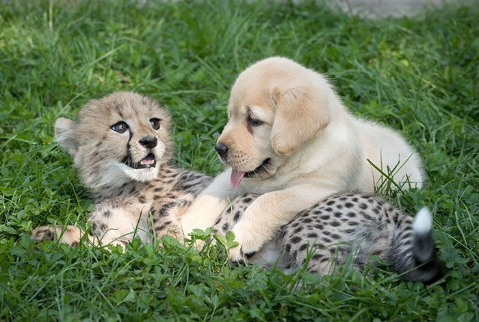 nervous-cheetahs-support-dogs-3-59523e00ce545__700