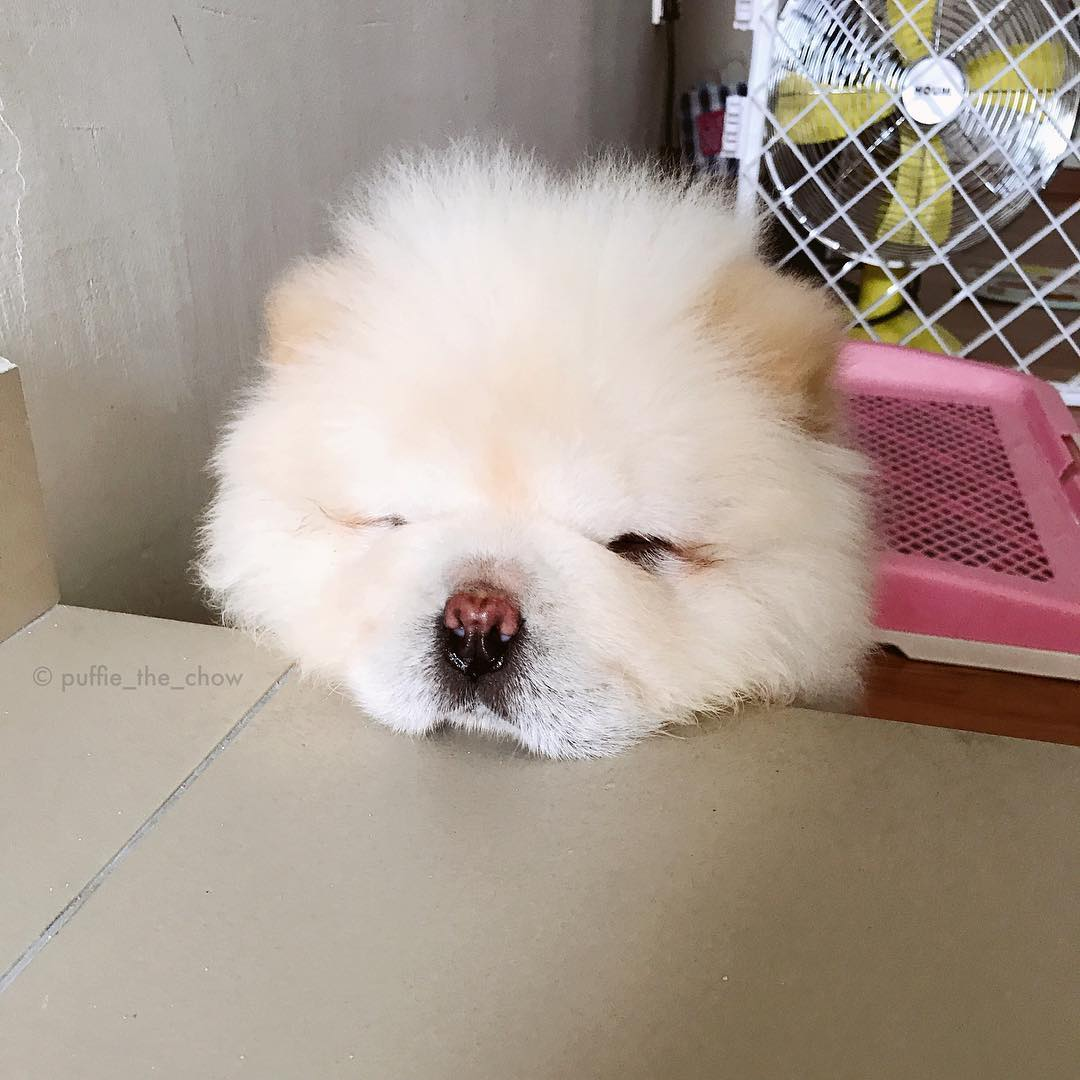 Puffie The Chow Chow Is Taking The Internet By Storm And The - This instagram chow chow looks like a fluffy potato and its so cute it doesnt even look real