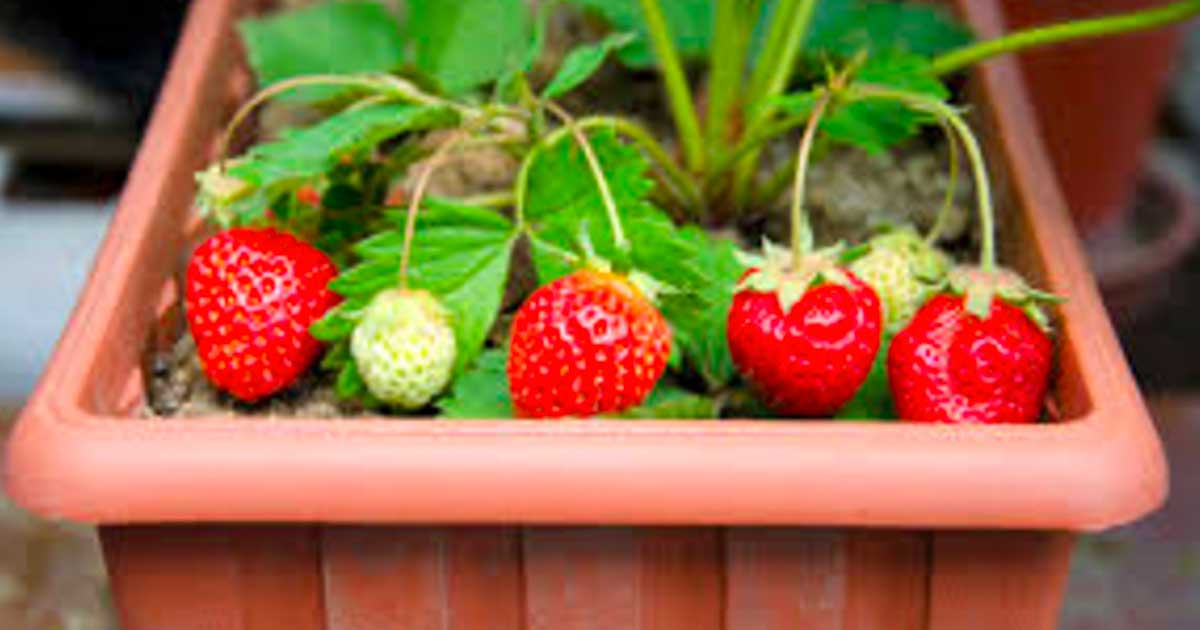 grow_strawberries_at_home_featured