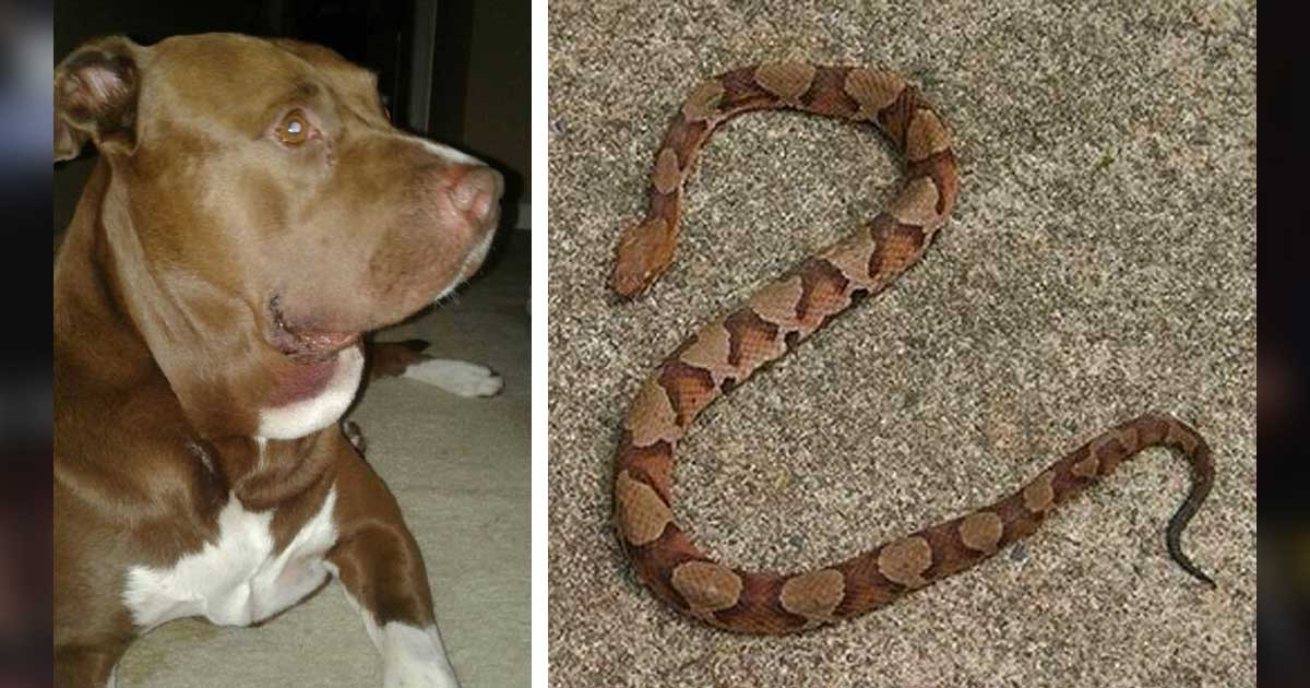 dog_saves_kid_copperhead_snake_featured