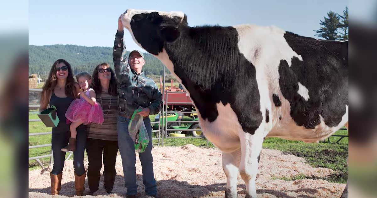 tallest_cow_world_featured