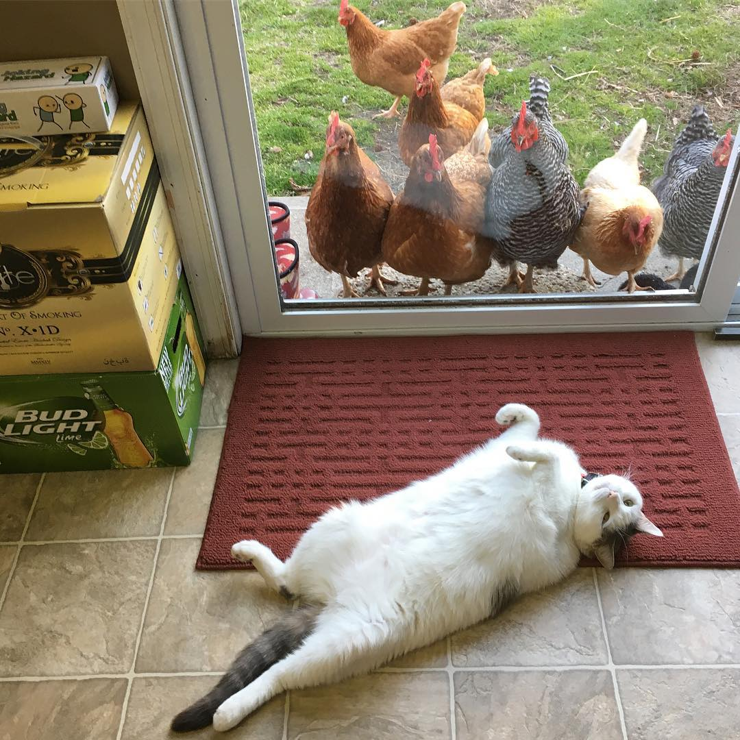 Flock Of Chickens Loves Watching Cat