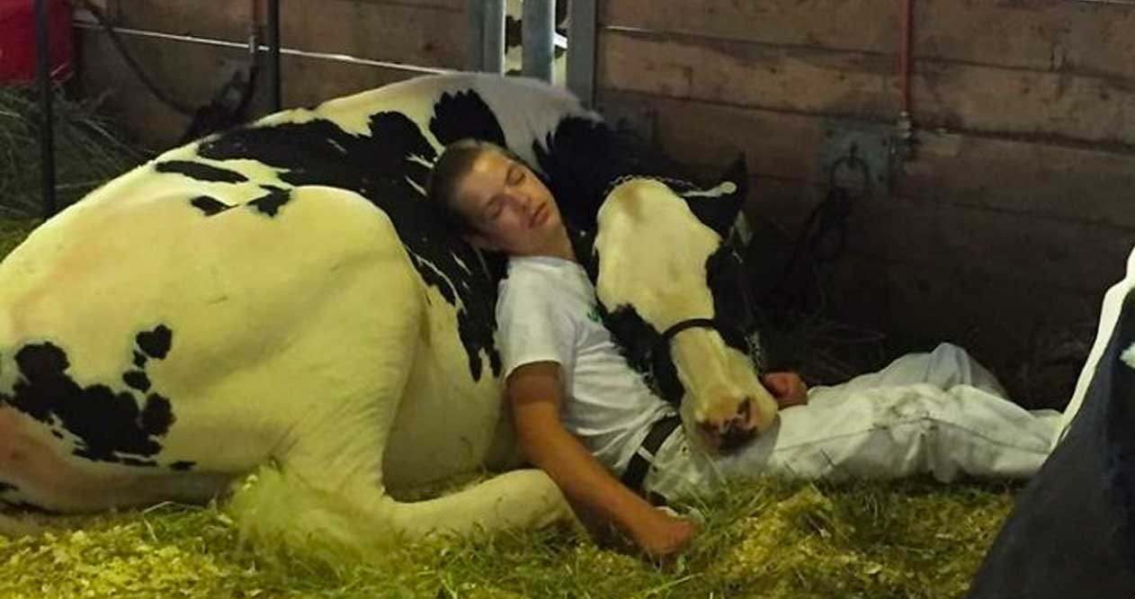 Teen And Cow Take A Nap Together And Win The Internet